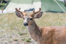 Deer Close-up Near Campsite