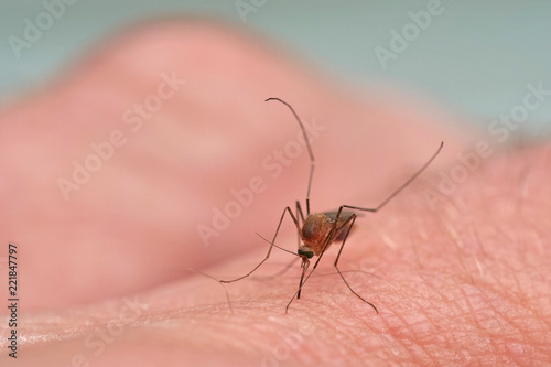 Fotomural Mücke saugt Blut auf der Haut eines Fingers, Makroaufnahme mit unscharfem Hinter
