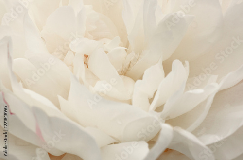 close up of beautiful white peony flower