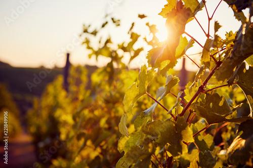 Photo sur Aluminium Vignoble The sun shining through the vineyard
