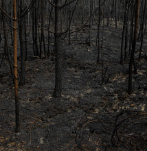 Black Forest, Detailed Young Trees Burned By Fire.