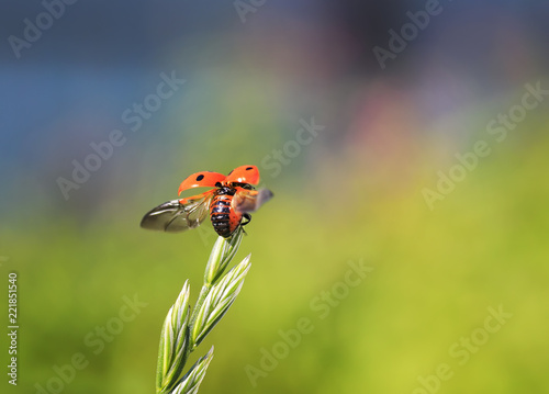 funny little beautiful red ladybug flies up to the sun with a blade of grass on a summer meadow spreading its wings