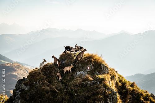 Rudel Ziegen am Berg mit Berglandschaft