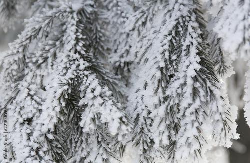 Aluminium Prints Dark grey Snow-cowered fir branches. Winter blur background. Frost tree