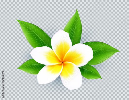 Realistic vector white frangipani flower isolated on transparent grid background Poster Mural XXL