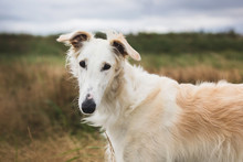 Close-up Portrait Of Elegant And Beautiful Russian Borzoi Dog In The Field