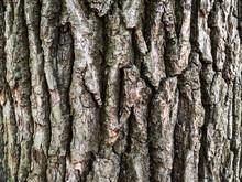 Bark Of Old Oak Tree