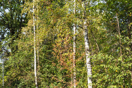 green and yellow foliage of birch grove in autumn