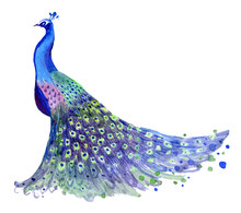 Illustration Of Peacock With Feathers. Watercolor Peacock Illustration.
