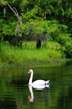 Beautiful Summer And Wildlife Nature Background. Landscape In Green Colors With Beautiful White Swan On A Lake. Vertical Composition.