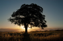 A Live Oak Is Silhouetted In F...