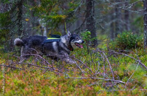 Hunting dog seeking prey in the wild