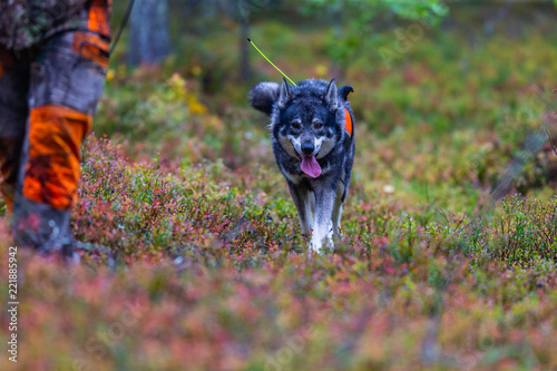 Hunting dog seeking prey in the wild