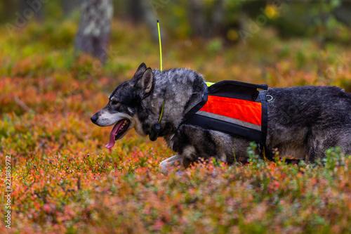 Fotobehang Jacht Hunting dog seeking prey in the wild