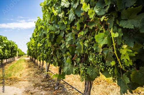 Grapes at vineyard in Mendoza, Argentina