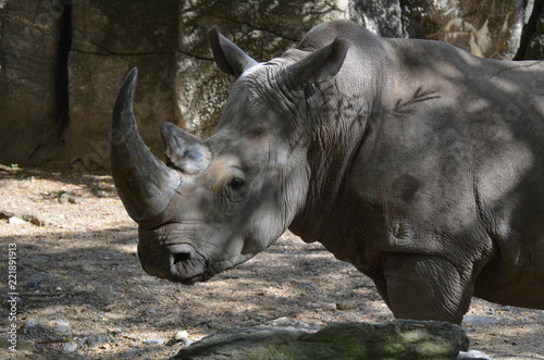 Tuinposter Neushoorn Rhino Standing in the Shade on a Summer Day