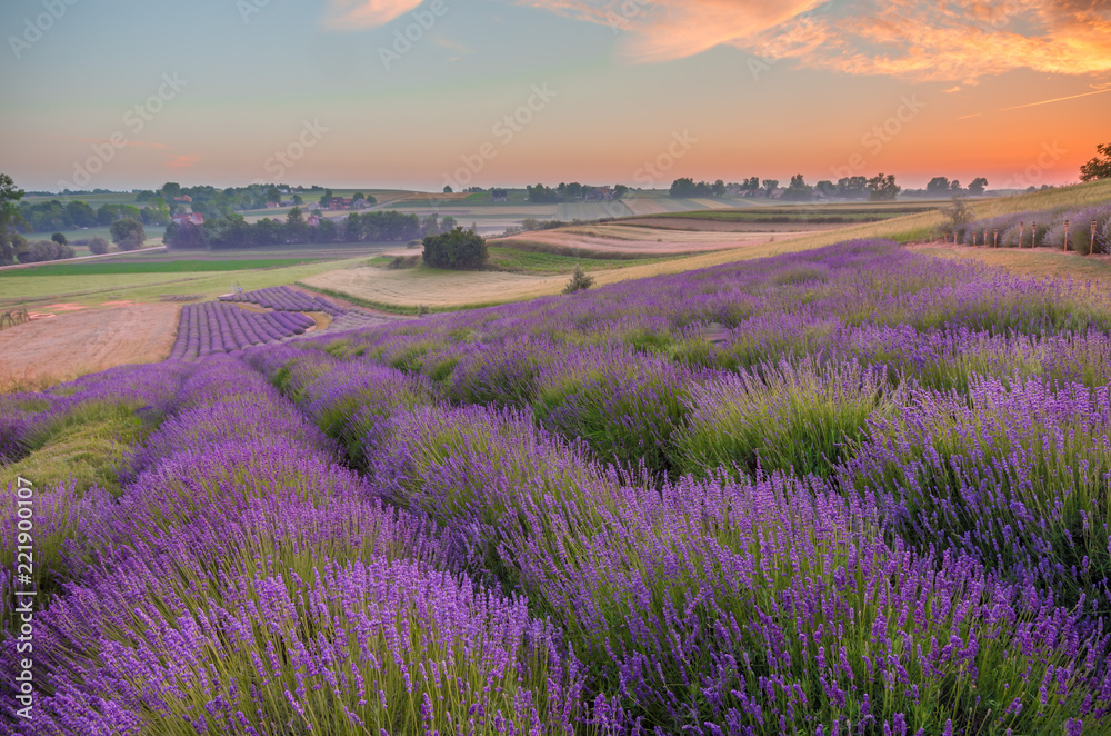 Fototapety, obrazy: Blooming lavender fields in Poland, colorful sunrise