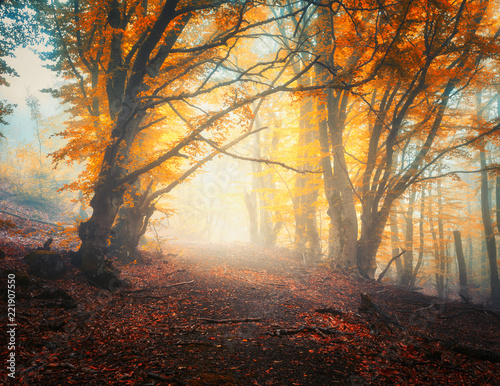 Papiers peints Forets Fairy autumn forest with trail in fog. Colorful landscape with beautiful enchanted trees with orange and red leaves on the branches. Scenery with path in mystical foggy forest. Fall colors in october