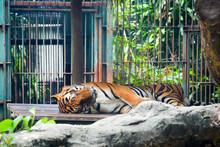 Tiger Sleeping On Rocks In Zoo...