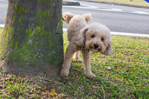 Cuadros en Lienzo  Male poodle urinating pee on tree trunk to mark territory