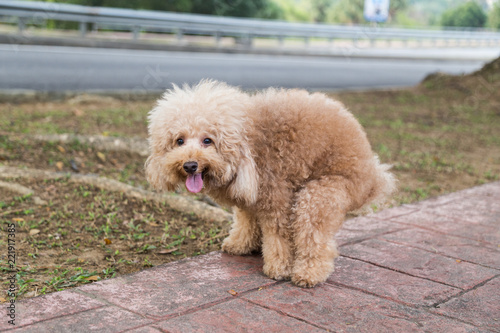 Poodle dog pooping defecate on walk path in the park Wallpaper Mural