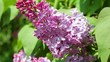 Close up view at bunchy lilac in spring