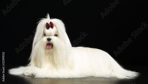 Vászonkép  Maltese dog Isolated  on Black Background in studio