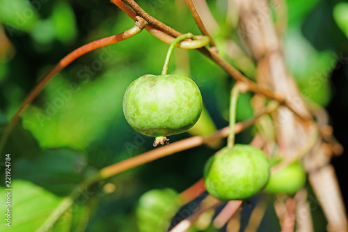 Green baby kiwi fruit actinidia arguta growing on the vine Canvas Print