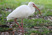 White Ibis Standing In The Grass