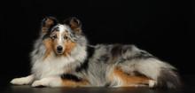 Sheltie Dog On Isolated Black Background In Studio
