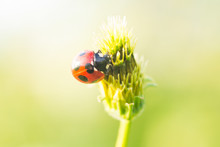 Ladybug On A Head Of Black-jac...
