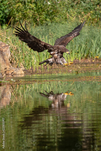 Fotobehang Vogel White-tailed Eagle, Haliaeetus albicilla, flying above the water, bird of prey with forest in background, animal in the nature habitat, wildlife from Sweden. Eagle in flight above the dark lake