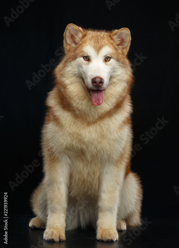 Photo Alaskan Malamute dog on Isolated Black Background in studio