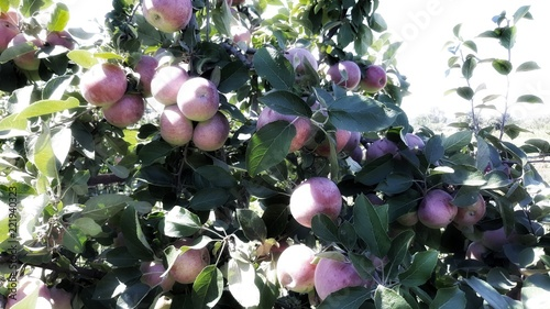 Tuinposter Zwavel geel Apples in the fresh air. Natural background for design