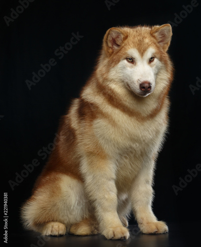Alaskan Malamute dog on Isolated Black Background in studio Canvas Print