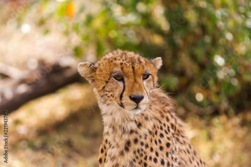 Photo  The head of a cheetah. Masai Mara, Kenya