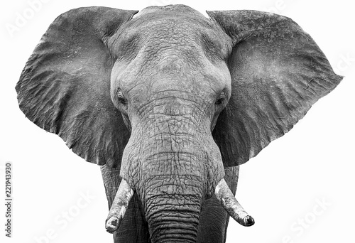 Poster Olifant Elephant head shot black and white