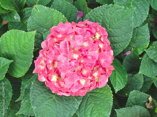 Beautiful hydrangea flower on leaves background