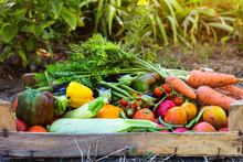 Organic Vegetables From The Home Garden - Carrots, Tomatoes, Peppers, Zucchini And Eggplant In A Wooden Box Among The Greens. Raw Healthy Food Concept
