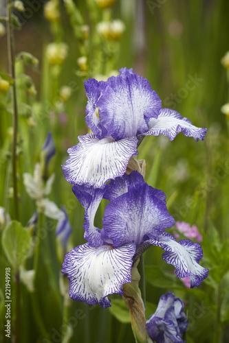 Tuinposter Iris Bearded Iris