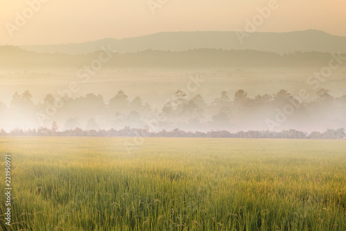 Poster Beige The yellow paddy field agriculture while sunrise in the morning with beautiful landscape mountain view in Chiangmai, Thailand during winter.