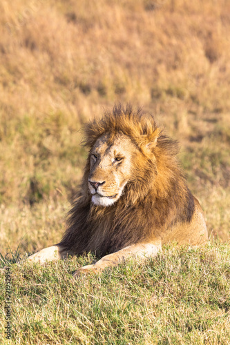 Staande foto Leeuw A large lion resting on a hill. Savannah Masai Mara, Africa