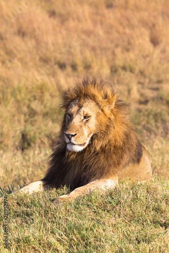 Fotobehang Leeuw A large lion resting in the grass. Savannah Masai Mara, Africa