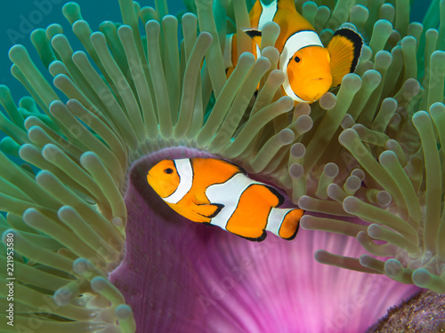 Photo  Two Nemo Clownfish in their host anemone