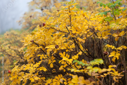 Foto  Yellow leaves on rose bush