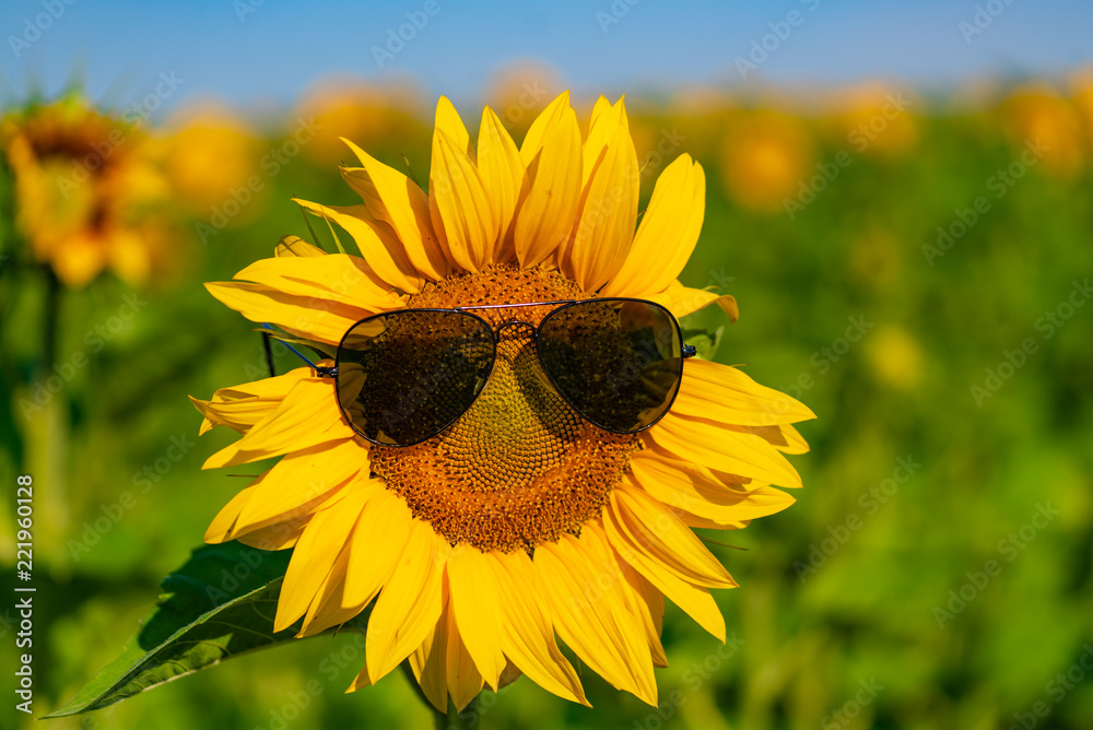 a large sunflower stands with spectacles in the field. Close-up