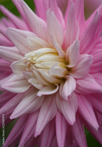 Staande foto Dahlia Closeup of a pink pastel colored dahlia flower