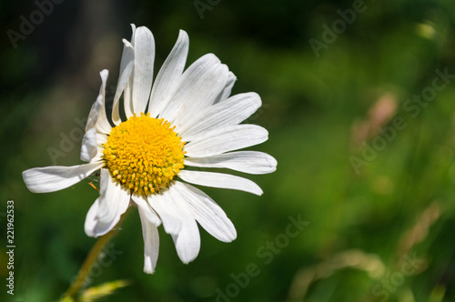 Foto op Canvas Madeliefjes Close-up Daisy Bellis Perennis