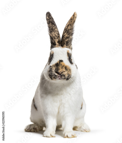 Checkered Giant rabbit is a breed of domestic rabbit that origin