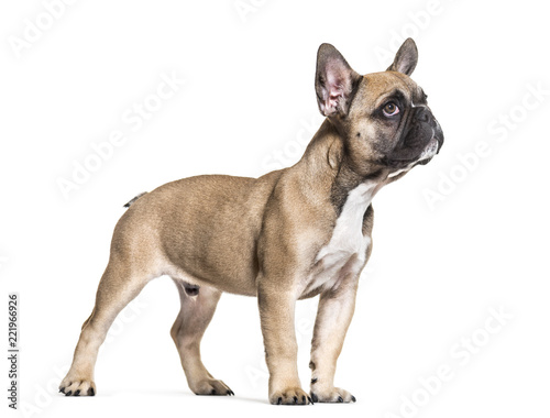 Papiers peints Nature French Bulldog, 5 months old, standing against white background
